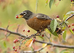 American Robin eating a crabapple (Thomas Muir) Tags: turdusmigratorius songbird tommuir woodcounty ohio perrysburg bird female feeding migration fall tree nature nikon 200400mm food d800 midwest