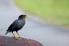 "八哥, Crested myna , Acridotheres cristatellus (hanks studio) Tags: hanks55 malaysia singapore johor bahru hanksstudio design photography creative travel lifestyle ""crested myna"" ""acridotheres cristatellus"" myna 八哥 鳥 birds"