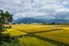 _MG_2470 (鹽味九K) Tags: 稻田 池上鄉 風光 早晨 台東 taiwan canon chihshang township 台東線 sky 雲 cloud yellow 黃 landscape 山