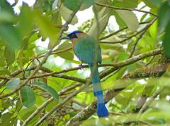 Amazonian Motmot (Momotus momota) (Francisco Piedrahita) Tags: aves birds lamacarena colombia amazonianmotmot momotusmomota