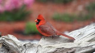 *** Northern Cardinal / Cardinal rouge