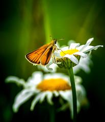 Golden Wings (Portraying Life, LLC) Tags: da3004 hd14tc k1 michigan unitedstates butterfly closecrop handheld nativelighting skipper