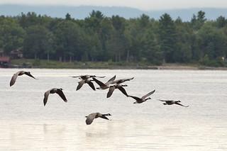 DSC 7726 Kanadagänse - Canadien Geese