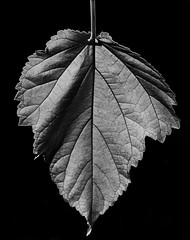 Leaf From A Fruitless Mulberry Tree In B&W (Bill Gracey 21 Million Views) Tags: fruitlessmulberrytree leaves leaf nature naturalbeauty noiretblanc blancoynegro blackandwhite blackbackground silverefexpro sidelighting shapes shadows textures homestudio offcameraflash texture macrolens highcontrast yongnuo yongnuorf603n tabletopphotography