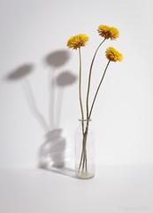 SIX (shawn~white) Tags: 35mm canon6d helichrysumbracteatum strawflower elegance flash floral flower nostalgia order primelens reflective retro stilllife strength studio studiolight vase yellow minnimalism shadow