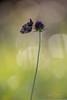 Boloria dia (Yvan Barbier) Tags: boloriadia boloriasp clossianadia insecta insectes lepidoptera lépidoptères nymphalidae papillons petiteviolette rhopalocera rhopalocères nikon d850