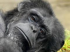 Schimpanse EN (endangered) (BrigitteE1) Tags: schimpanse en starkgefährdet welttierschutztag specanimal portrait