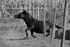 Freedom (Joanna Muthos) Tags: horse cheval mule mulet ane funny cute smart malin intelligent jument fil électrique évasion evasion escape donkey clever amusant drôle sony black white noir blanc freedom liberté