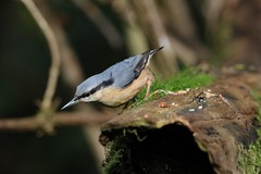Nuthatch (aaron19882010) Tags: nuthatch blackford lakes bird wood land woodland trees forest stream branch moss hole blue green grey seeds nut nuts nature wildlife outdoors outside yellow chest tummy black eye line canon 750d sigma lens 600mm 150mm photograph photography photo camera capture