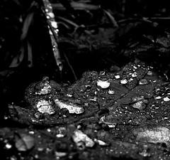 💦💦💦 (staceygallagher2) Tags: closeup ireland rain nature leaf mono blackandwhite
