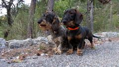 Edy et Nino , l'impatience des chasseurs (bernard.bonifassi) Tags: bb088 06 alpesmaritimes 2017 octobre thiery counteadenissa chien teckel teckelàpoilsdurs chasse
