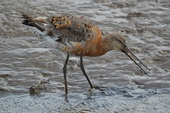Black-tailed godwit (James L Taylor) Tags: rspb titchwell marsh 21917 blacktailed godwit limosa