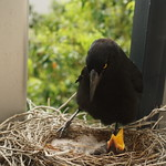 Charlotte Currawong and the chicks thumbnail