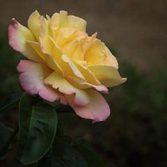 A Birthday Rose (AnyMotion) Tags: birthday geburtstag rosa rose gloriadei peace garden garten blossom blüte petals blütenblätter leaves blättter 2017 floral flowers frankfurt plants anymotion nature natur colours farben yellow gelb pink 7d2 canoneos7dmarkii square 1600x1600 fa ngc npc