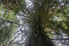 Old growth cedar tree (Corvus707) Tags: pacificnorthwest pacific mountains roadtrip hike hiking nature wildlife naturephotography landscape landscapephotography canon canon7dmarkii canonphotography mountrainier mountrainiernationalpark nationalpark optoutside
