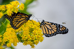 """Butterflies & The Honey Bee"" (Photography by Sharon Farrell) Tags: monarch monarchbutterfly monarchbutterflymigration tomexico butterfly yellow mexicobound holgate holgaenj holgatenewjersey lbi longbeachisland longbeachislandnj longbeachislandnewjersey jerseyshore newjersey jersey"