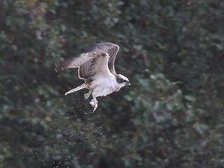 Osprey - Furnace Pond, Horsemonden 608