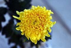 A chrysanthemum by itself (Pensive glance) Tags: chrysanthemum chrysanthème mum flower fleur plant plante chrysanth