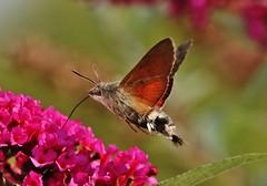 Hummingbird Hawk-moth (Hugo von Schreck) Tags: hugovonschreck hummingbirdhawkmoth taubenschwänzchen makro macro insect insekt macroglossumstellatarum schmetterling falter moth canoneos5dsr tamron28300mmf3563divcpzda010 yourbestoftoday fantasticnature greatphotographers onlythebestofnature