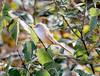 Sýkořice vousatá (Panurus biarmicus), samička, Bohdanečský rybník (Pavel Trhon) Tags: ptáci pták vodní water bohdaneč rybník pond birds