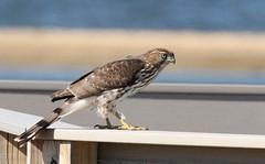 Cooper's Hawk at Sandy Hook (Tombo Pixels) Tags: coopershawk coopers hawk sandyhook0704 bird sandyhook nj newjersey twb1 audubon audubonwalk