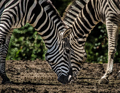 Two heads are better than one... (knoxnc) Tags: zebra afternoonsun nikon outside grazing strips closeup bokeh summer d7200 mammals specanimal alittlebeauty