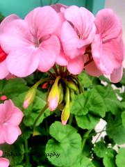 Morning Bliss (Genius Wizard) Tags: sikim himalayas winter flower northeastindia gangtok