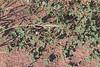 CAE006164a (jerryoldenettel) Tags: 170921 2017 alkalimallow malvaceae malvales malvella malvellaleprosa mtdora nm rooseveltco rosids wildflower flower mallow