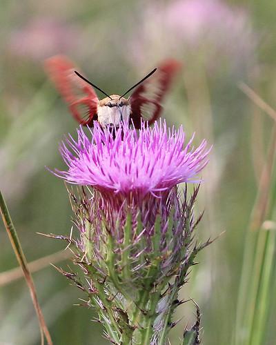 Hummingbird Sphinx (Hemaris thysbe) on Purple Thistle (Cirsium horridulum)