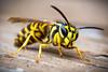 Yellow Jacket '17 (R24KBerg Photos) Tags: yellowjacket sting insect 2017 macro closeup nature canon stinger