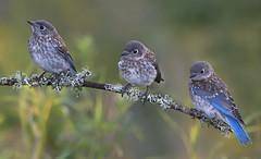 Bluebird siblings (Phiddy1) Tags: