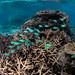 blue green damsel fish-0903