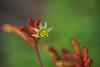 Garden-20170909-031.jpg (Eastlake) Tags: anigozanthos catspaw kangaroopaws