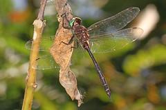 Fine-lined Emerald - Somatochlora filosa, Occoquan Bay National Wildlife Refuge, Woodbridge, Virginia (judygva) Tags: