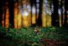 #147 - Let's go mushrooming! / Na houbách (photo.by.DK) Tags: mushroom mushrooming woods wood fores bokeh bokehlious oldlens legacylens manuallens manualfocus manual manuallense manualondigital sunset sunsetintheforest planar planar50 planar5014 carlzeiss carlzeissplanar carlzeissplanar5014 cy contax contaxyashica sonya7 sony sonyilce sonya7ii sonyalpha a7ii a7