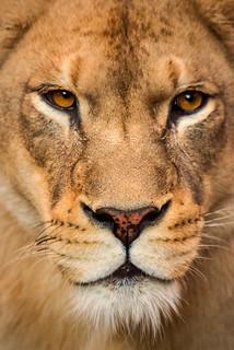 Female Lion Stare 3-0 F LR 9-16-17 J619