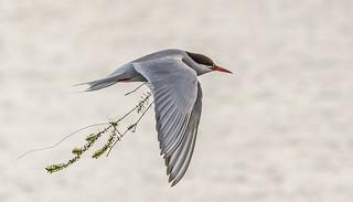 JWL5868  Arctic Tern..