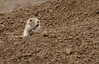 Huh? (Rick Derevan) Tags: badlandsnp mammal prairiedog southdakota wildlife wall unitedstates badlands badlandsnationalpark droh dailyrayofhope