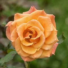 Still blooming (KWaterhouse) Tags: montrealbotanicalgardensandparcmaisonneuve roses orange yellow rose blossom petal beauty bloom jardinbotaniquedemontréal montreal quebec canada nikond5300