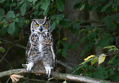 great horned owl (Mel Diotte) Tags: great horned owl