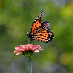 Monarch (6) (amiecware) Tags: monarch butterfly zinnia nature