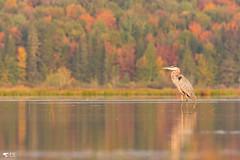 ''Parfum d'automne!'' Gradn héron-Ardea herodias (pascaleforest) Tags: oiseau bird animal passion nikon nature automne automn lac couleur colorful forest forêt québec canada kayak canicule