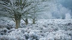 Three Kings (ChrisDale) Tags: chrisdale chrismdale december edwinstowe forest frost morning nottingham nottinghamshire notts sherwood sherwoodforest sunrise trees winter woodland woods england unitedkingdom