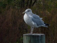 Herring Gull (Dendroica cerulea) Tags: americanherringgull herringgull larussmithsonianus larusargentatussmithsonianus larusargentatus larus laridae lari charadriiformes aves bird birds gull autumn southamboy middlesexcounty nj newjersey