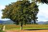 Walnussbaum (Moanda) Tags: walnuss baum