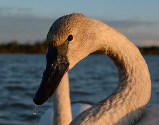 Cygne Trompette - Trumpeter Swan