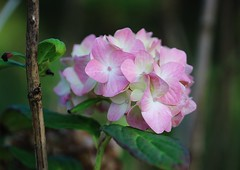 Hortensie (LuckyMeyer) Tags: flower fleur hortensie garden rosa weiss pink white makro