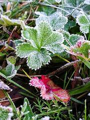 Winter starts here ❄ (evakongshavn) Tags: 7dwf flora winter icy plant macro macroshot closeup close makro