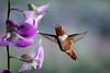 I'm Here!!! (Patricia Ware) Tags: allenshummingbird backyard birdsinflight california canon fullframe male manhattanbeach multipleflashes orchid selasphorussasin tripod httppwarezenfoliocom ©2017patriciawareallrightsreserved specanimal specanimalphotooftheday sunrays5