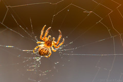 Arachtober 20 - Small Orbweaver In Marsh (raypainter) Tags: bouldercolorado waldenponds scotttucker canon afternoon arachnid arachtober arthropod autumn bug bugs colorado ef100mm eos70d event fall insects macro micro nature outdoors predator raypainter spider spiders weaver web wildlife